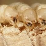 Termite-removal