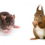 rat-and-squirrel